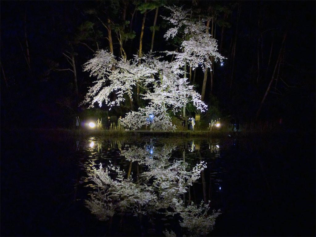 じゅんさい池公園に映し出されたシダレザクラ