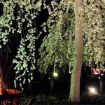 じゅんさい池公園のかがり火と夜桜(シダレザクラ)を見てきた