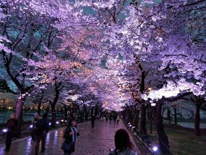 日本三大夜桜 上越市 高田城百万人観桜会 さくらロード夜桜の風景写真