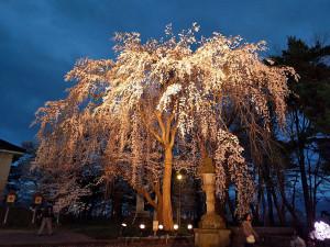 日本三大夜桜 上越市 高田城百万人観桜会 さくらロード内シダレ桜の夜桜の風景写真