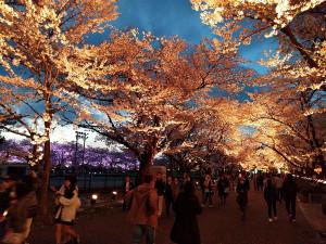 日本三大夜桜 上越市 高田城百万人観桜会 さくらロード夜桜の風景写真2