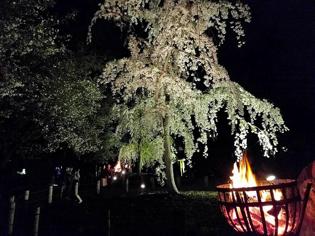 じゅんさい池公園 夜桜 かがり火とシダレザクラ