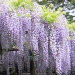 今が見頃!なんとも美しい「藤の花」藤棚名所5選