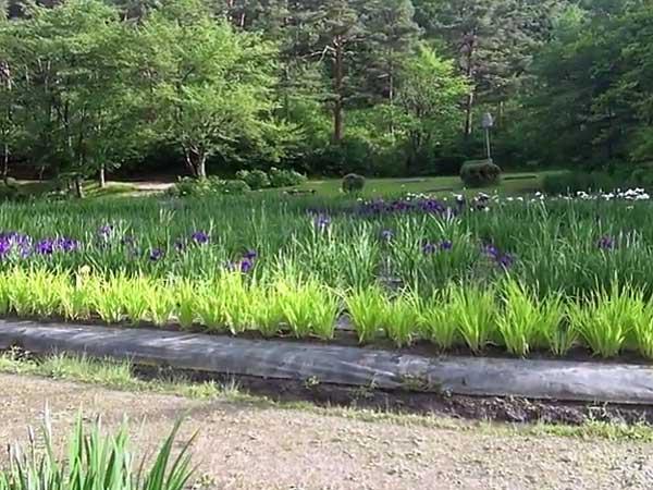 五十公野公園あやめ園6月16日開花状況