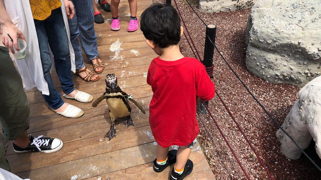 うみがたり-マゼランペンギンと散歩2