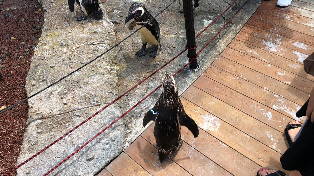 うみがたり-マゼランペンギンと散歩5