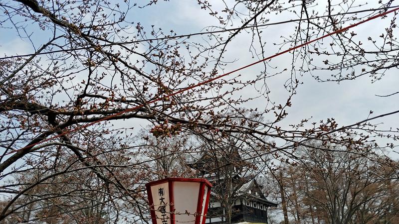 高田公園_桜開花状況2019年3月30日