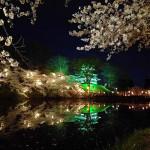 日本三大夜桜 上越市 高田城百万人観桜会 開花状況