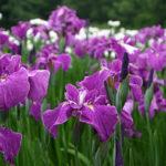 新発田市の五十公野公園あやめ園の開花状況